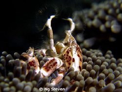 Anemone crab catching plankton spider style. Night dive i... by Ng Steven 